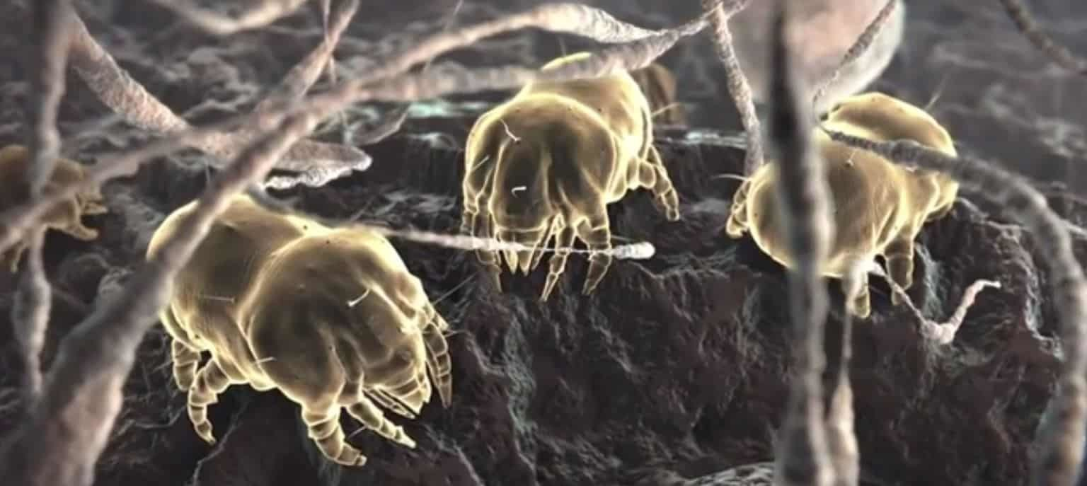 Carpet Dust Mites | Wh...